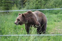 Or walk down to the lift and ride up to see Boo, the neighborhood grizzly up close and personal.