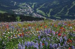 Enjoy a summer getaway at Sunpeaks! Alpine blossoms in August with a view to the village.
